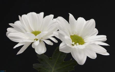 хризантеми абрис