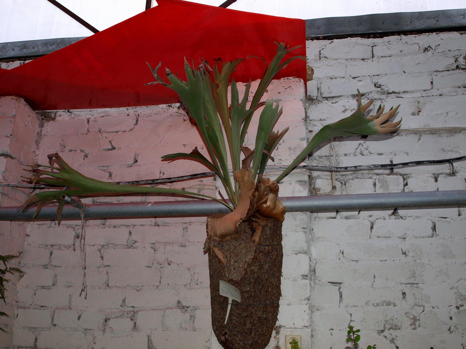 Олений рога цветок фото