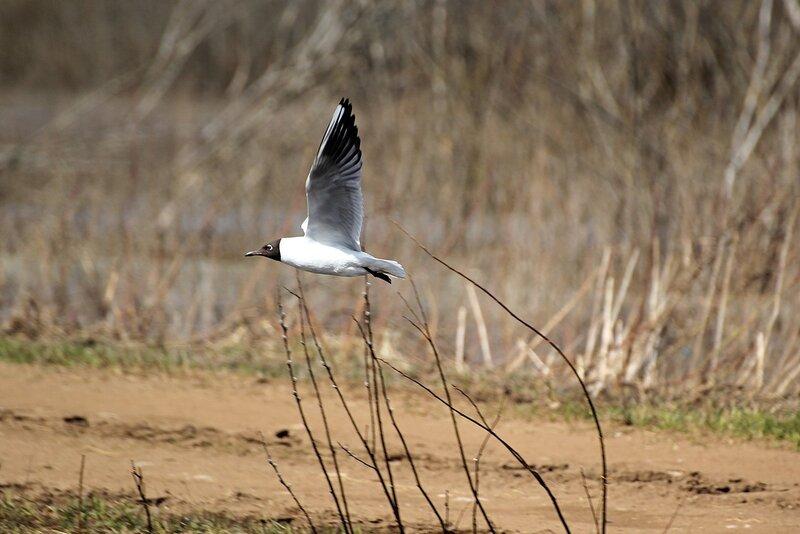 Взлетающая чайка