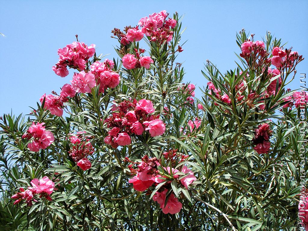 олеандр фото цветов
