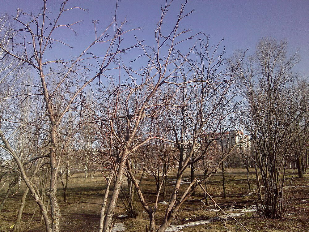 Свиристели, весна