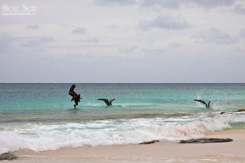 еще пеликаны на рыбалке, охота пеликанов