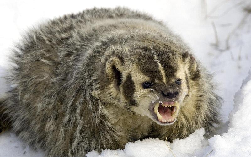 Кто такая Росомаха. Единственный из Gulo. Красивый, дерзкий, сильный и редкий зверь. Информация и куча редких фото.