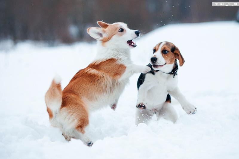 пофотографирую Ваших собак! - Страница 5 0_145fee_2107223_orig