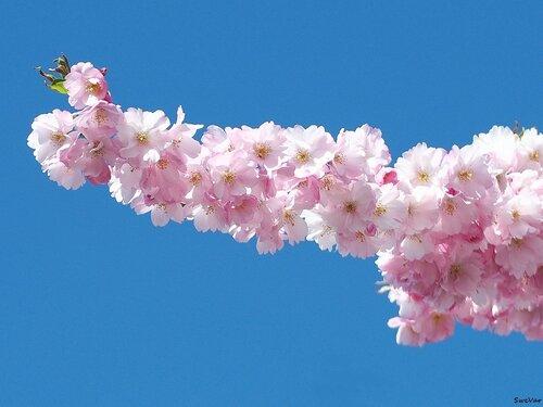 Нежная розовость сакуры