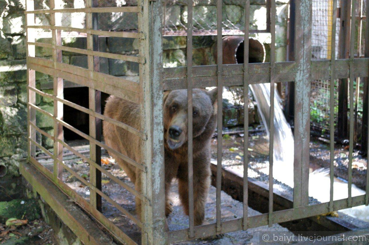 Рачинский медведь Миша, пленённый в имеретинском ресторане