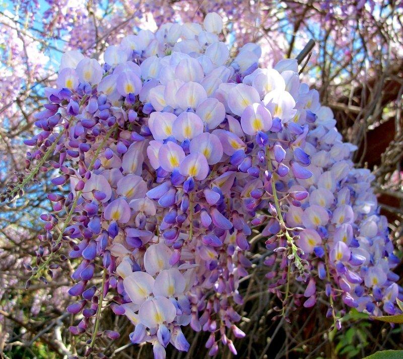 Камелия, Азалия, Глициния. Легенды о цветах.