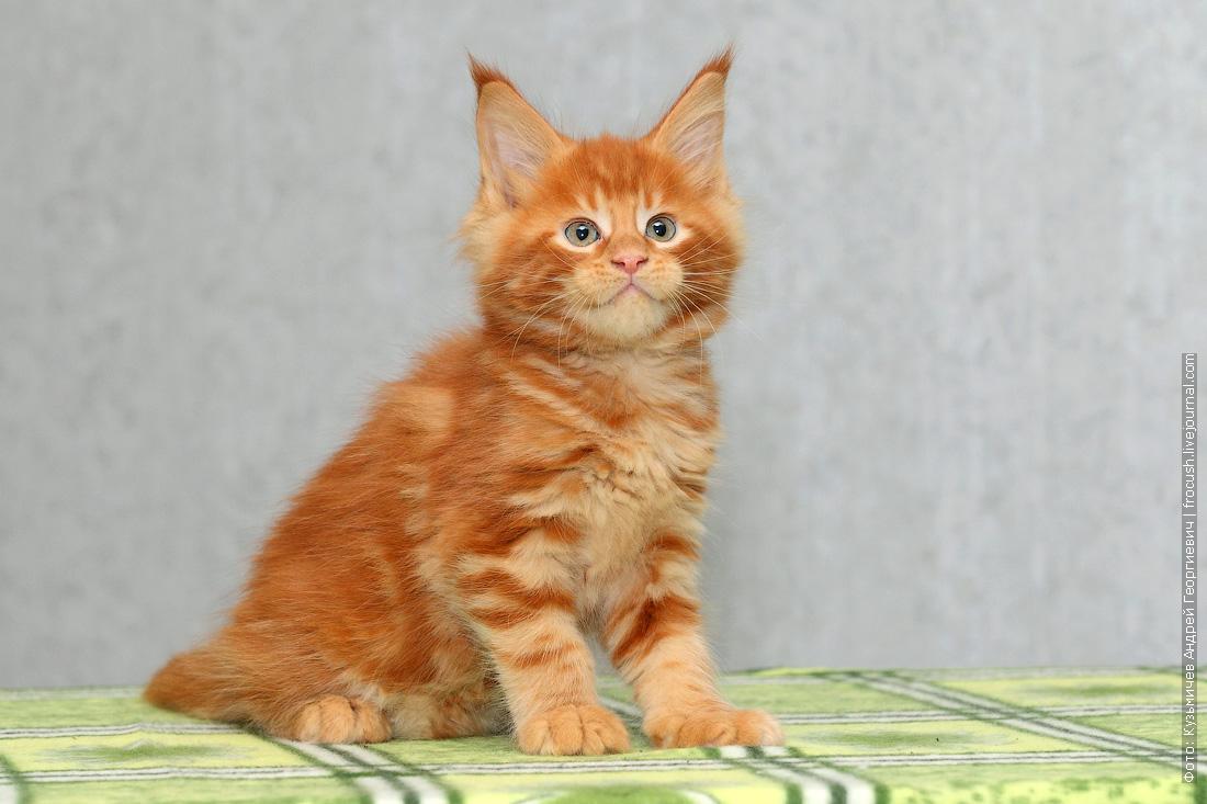 питомник красный котенок мейн кун