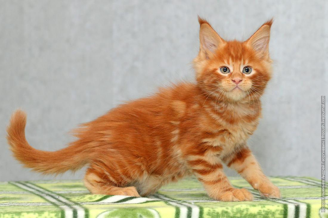 питомник в Москве красный котенок мейн кун