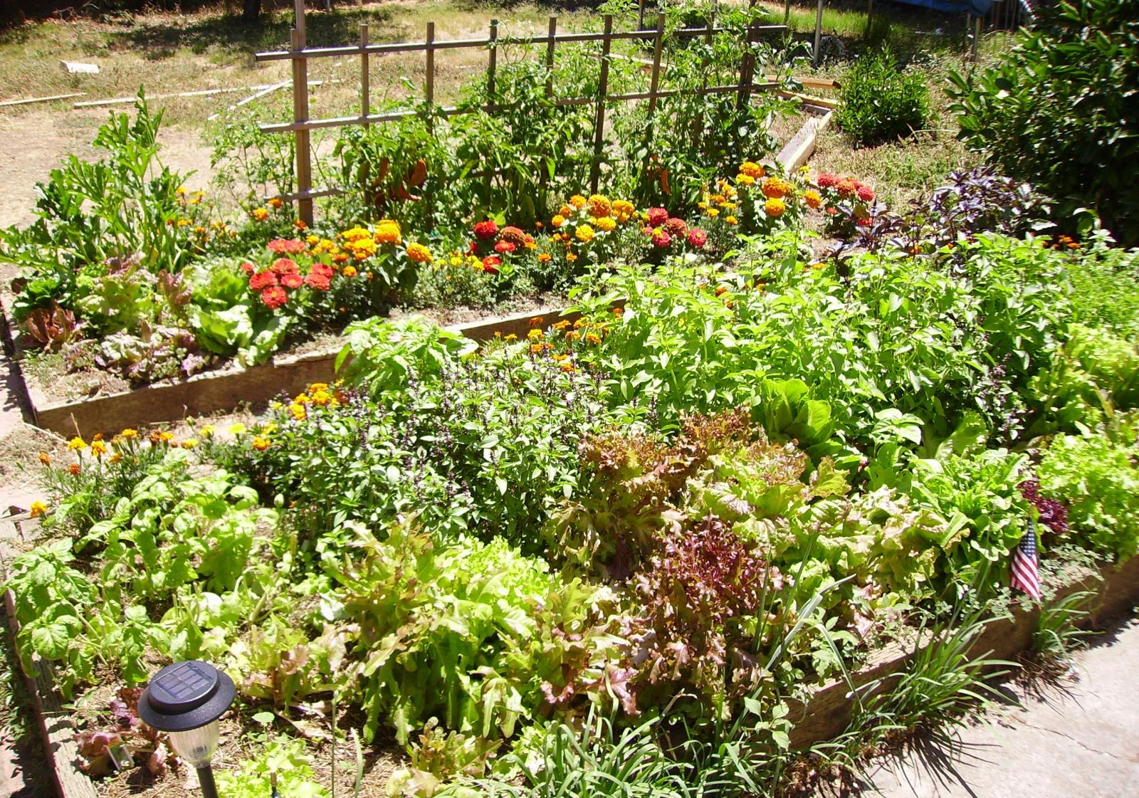 какие травы посадить на даче для чая