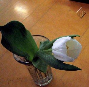 Нежен тюльпан белый
