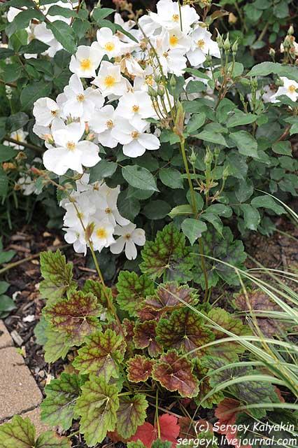 Rosa Kew Gardens (30).JPG