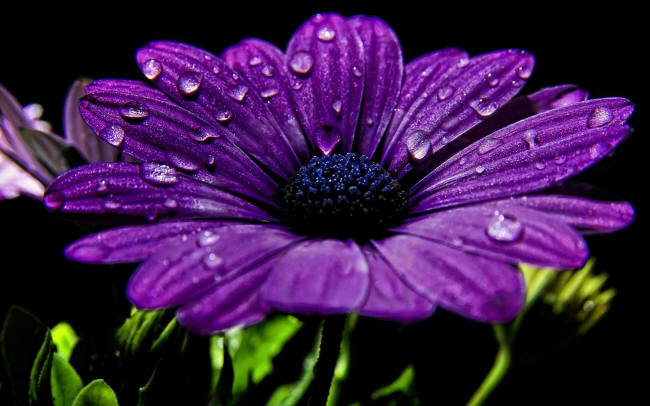 фіолетова диморфотека