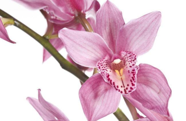 орхідея цимбідіум