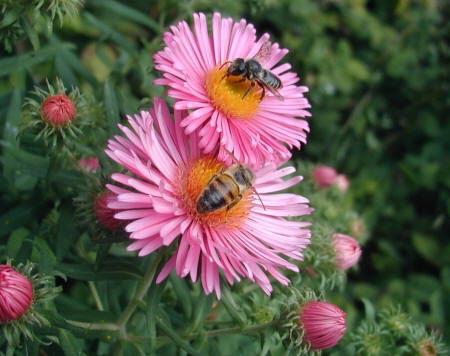 бджоли на квітці