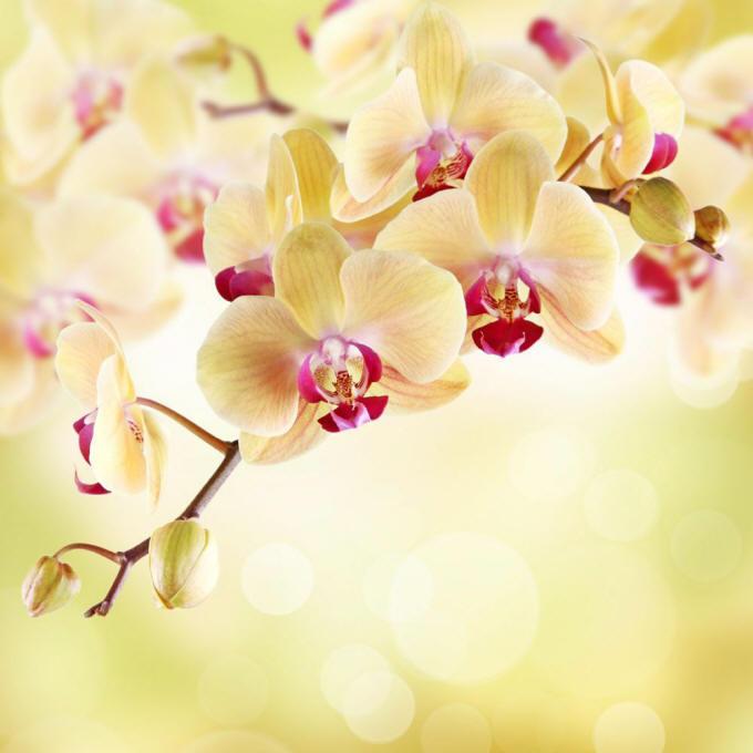 орхідеї фаленопсис