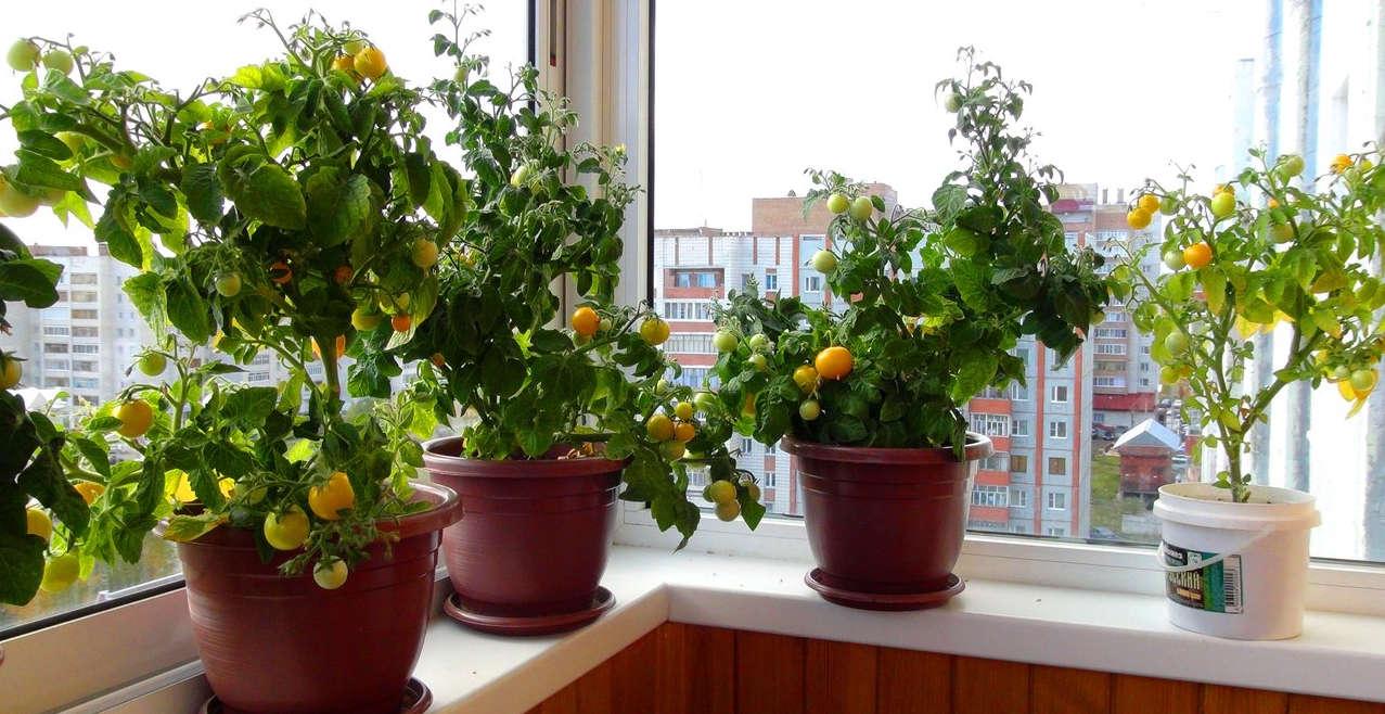 выращивание помидоров зимой