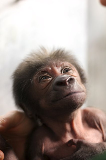 A baby female Western lowland gorilla is seen in this handout photograph dated February 17, 2016, an