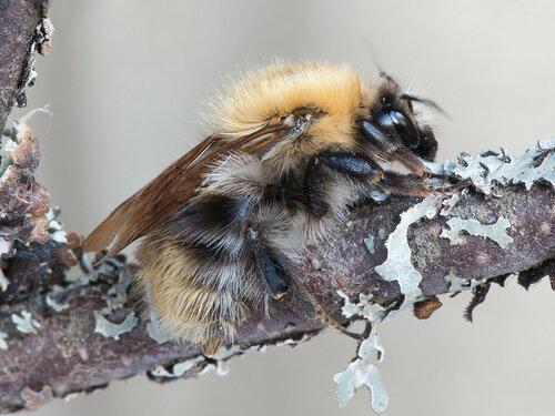 Apidae: Thoracobombus Автор фото: Владимир Брюхов