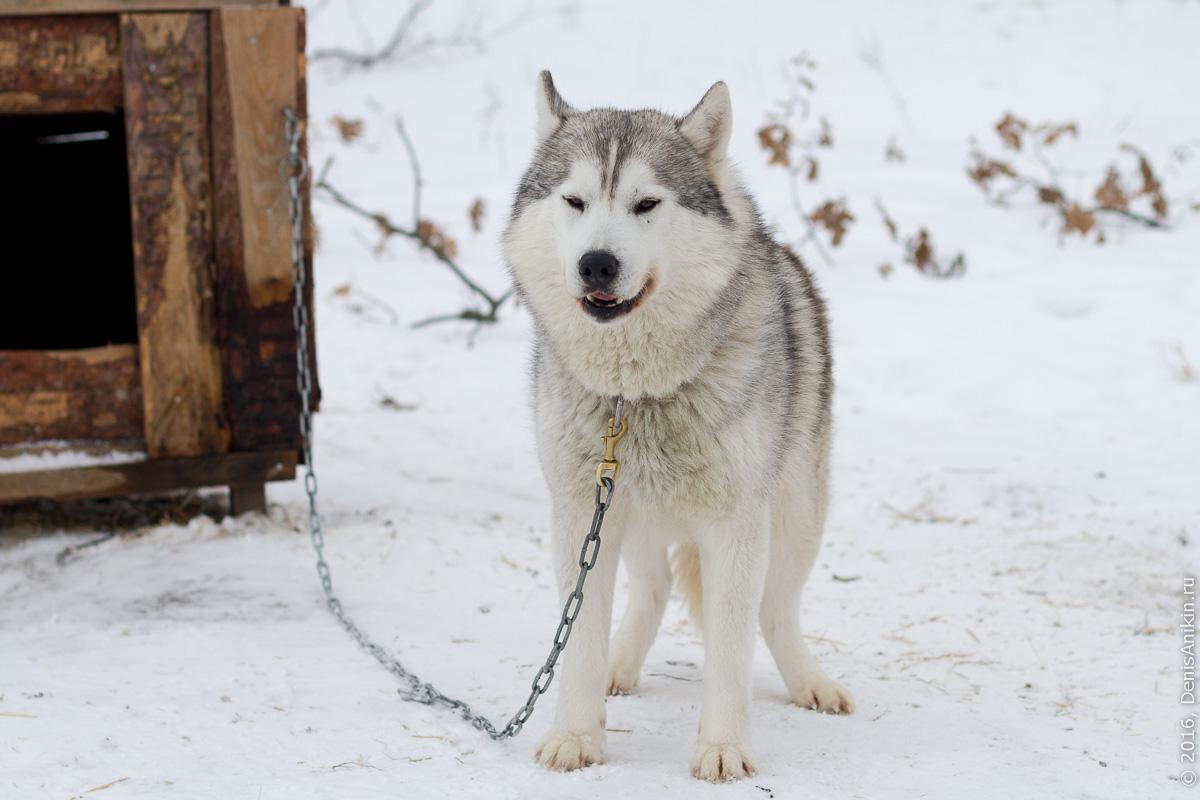 Питомник сибирских хаски DogWinter 11