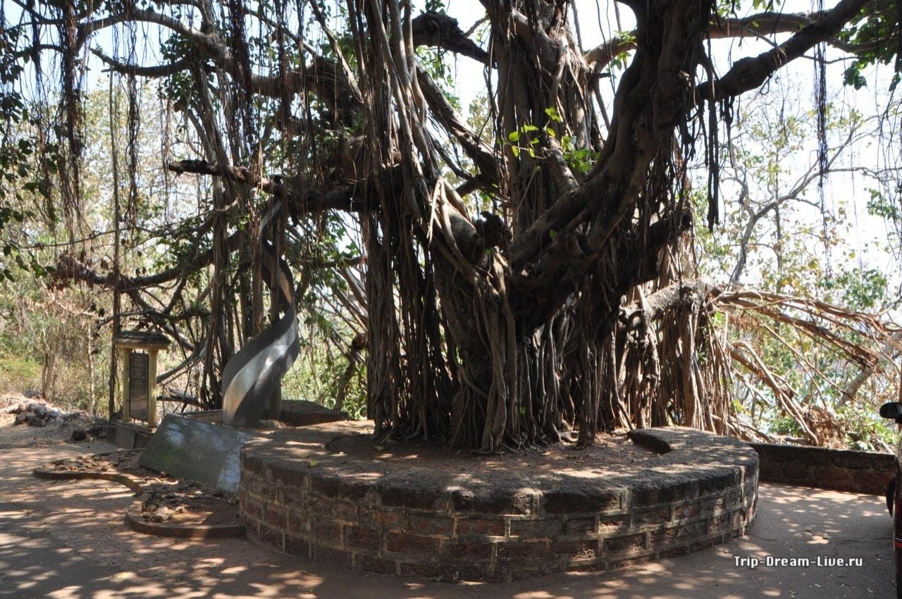Фикус бенгальский, больше известный под кодовым именем баньян