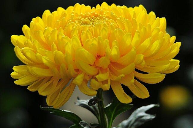 Хризантема,вязание крючком.