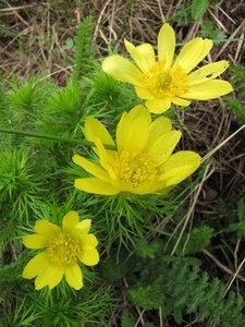 Адонис весенний (Adonis vernalis)