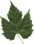 dp_mtw_Leaf3.png