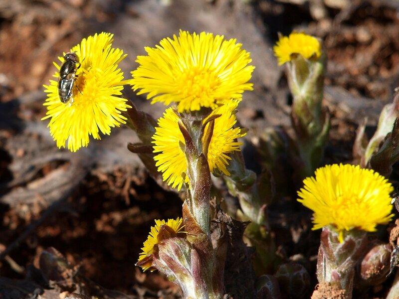 пчёлы и мухи собирают нектар P4202035
