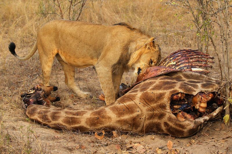Африканские львы, львицы и львята Фотографии