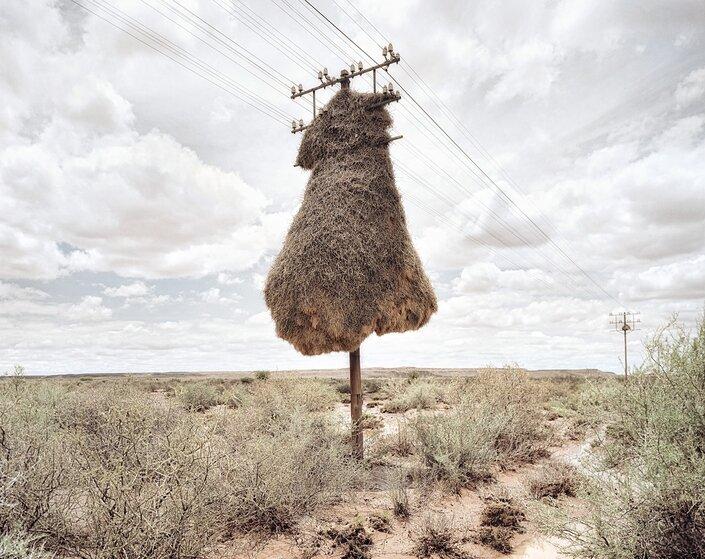 Гнездо птиц-ткачей в пустыне Калахари