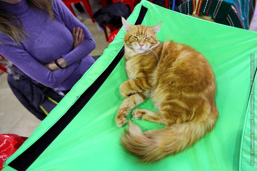 выставка кошек Мейн-кун