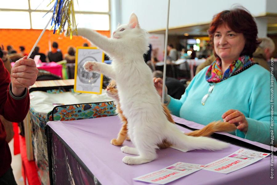 Трехмесячные котята Мейн-кун