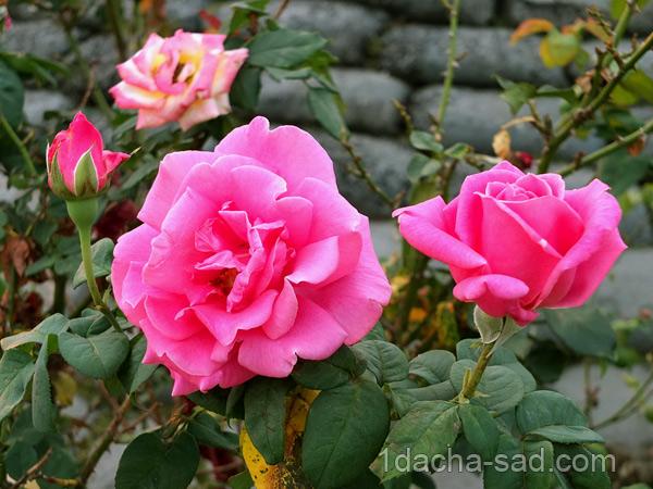 ароматные сорта плетистых роз