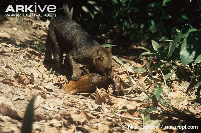 Photo from ARKive of the Jaguarundi (Puma yagouaroundi) - http://www.arkive.org/jaguarundi/puma-yagouaroundi/image-G43814.html