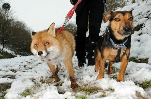 Fox thinks its a hound