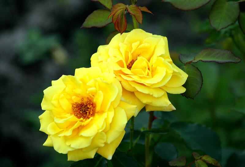 официальный сайт роза казино отзывы фото