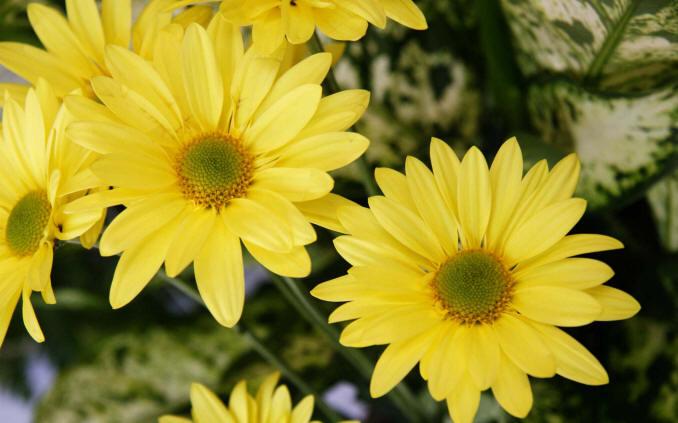 жовті ромашкові хризантеми