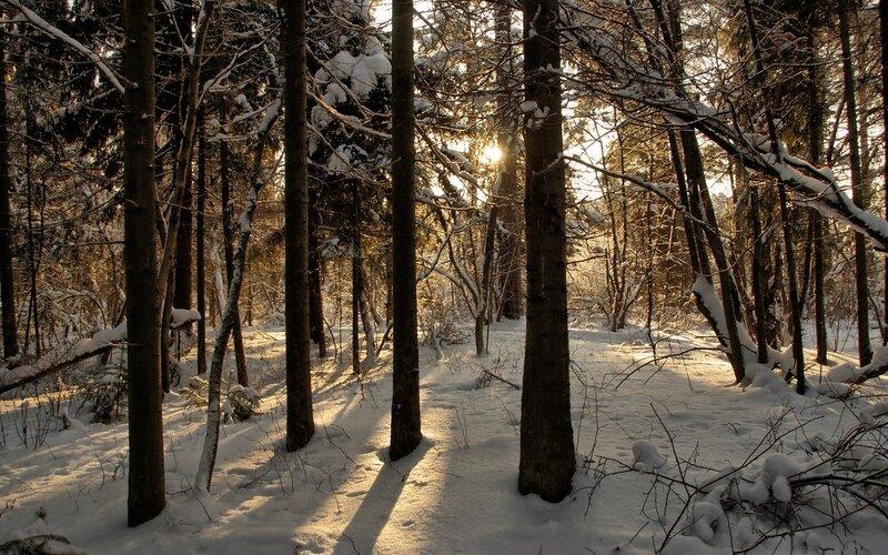 Солнце меж стволов в зимнем лесу