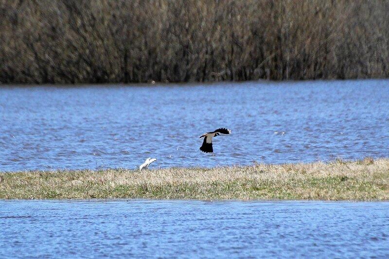 Чибис (Vanellus vanellus) взлетает над заливным лугом в пойме Вятки