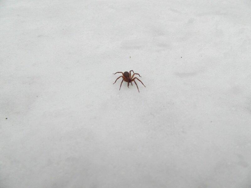 Паук на снегу.