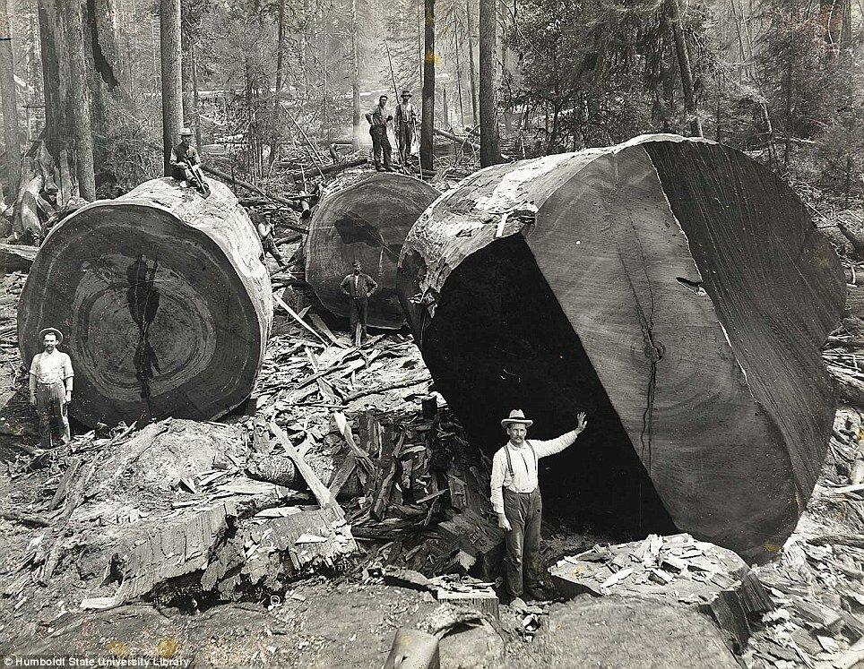 Лесорубы в лесах северной Калифорнии, 1915 год