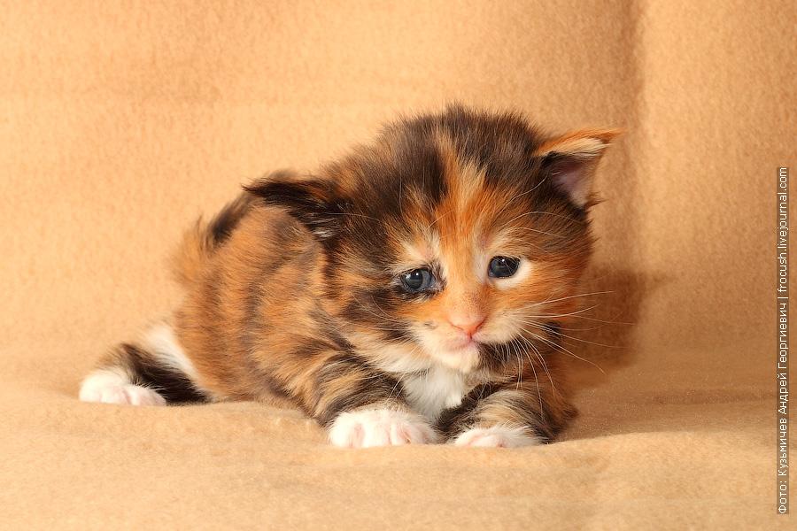 трехнедельный котенок