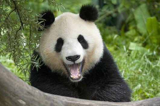 Смешные фото панды на аватарку