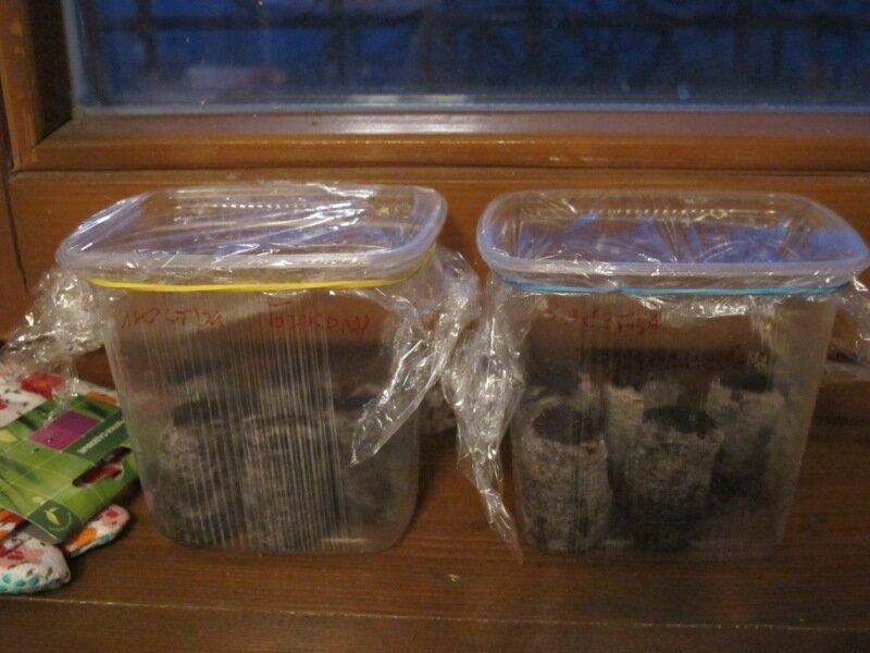 Пеларгония семенами