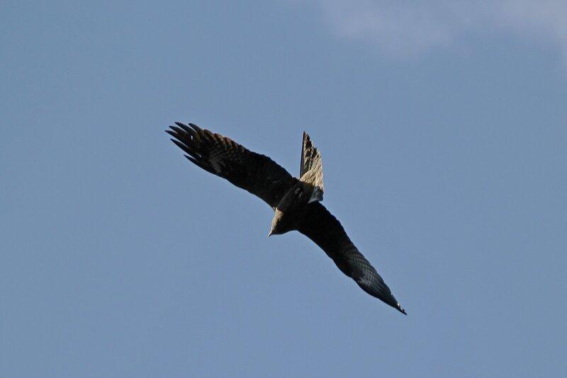 Чёрный коршун (Milvus migrans) в полёте