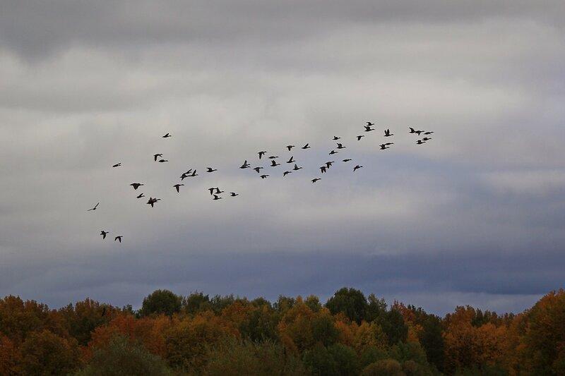 Стая уток над осенними деревьями рядом с руслом реки Вятки в районе Кирово-Чепецка