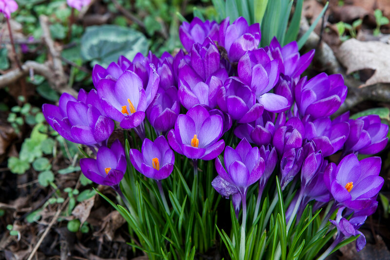 Purple crocus flowers in the spring time