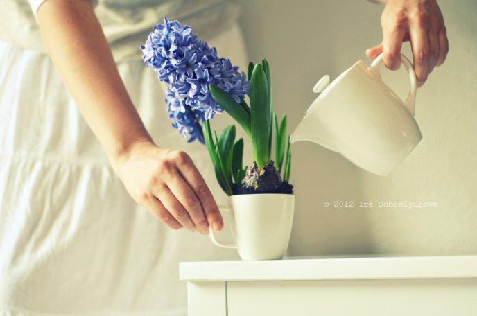 Гиацинт как поливать в домашних условиях