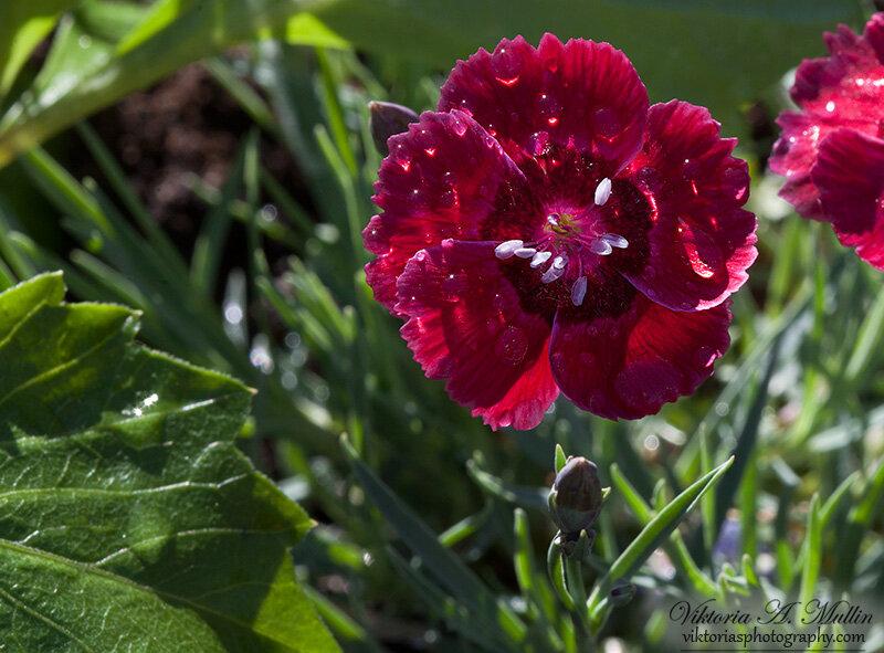 Dianthus-Cheddar Pinks-3439-38